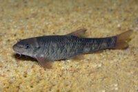 Как выглядит рыбка для пилинга?